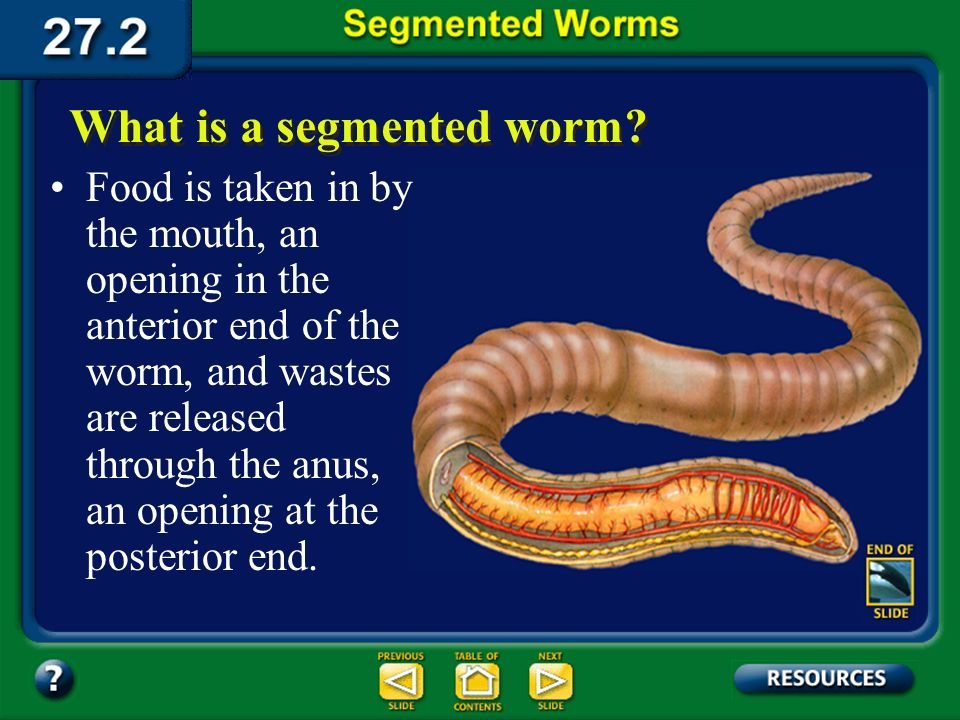 Section 27.2 Summary – pages 728-733 The basic body plan of segmented worms is a tube within a tube. What is a segmented worm? The internal tube, susp