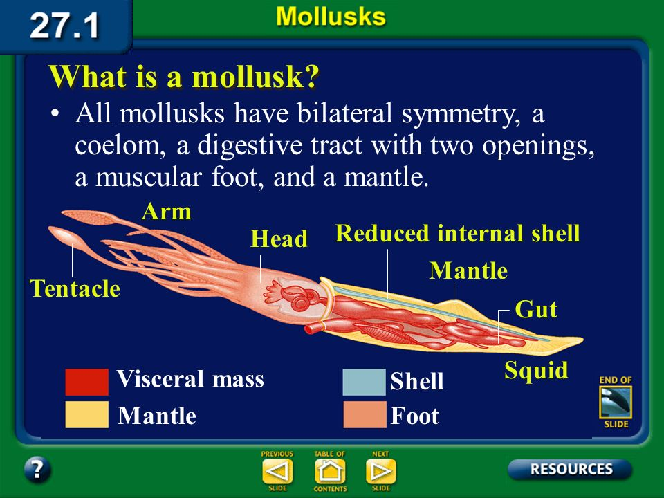 Section 27.1 Summary – pages 721-727 All mollusks have bilateral symmetry, a coelom, a digestive tract with two openings, a muscular foot, and a mantle.