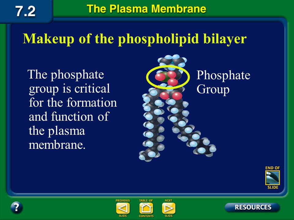 Summary Section 2 – pages 175-178 The lipids in a plasma membrane have a glycerol backbone, two fatty acid chains, and a phosphate group. Glycerol Bac