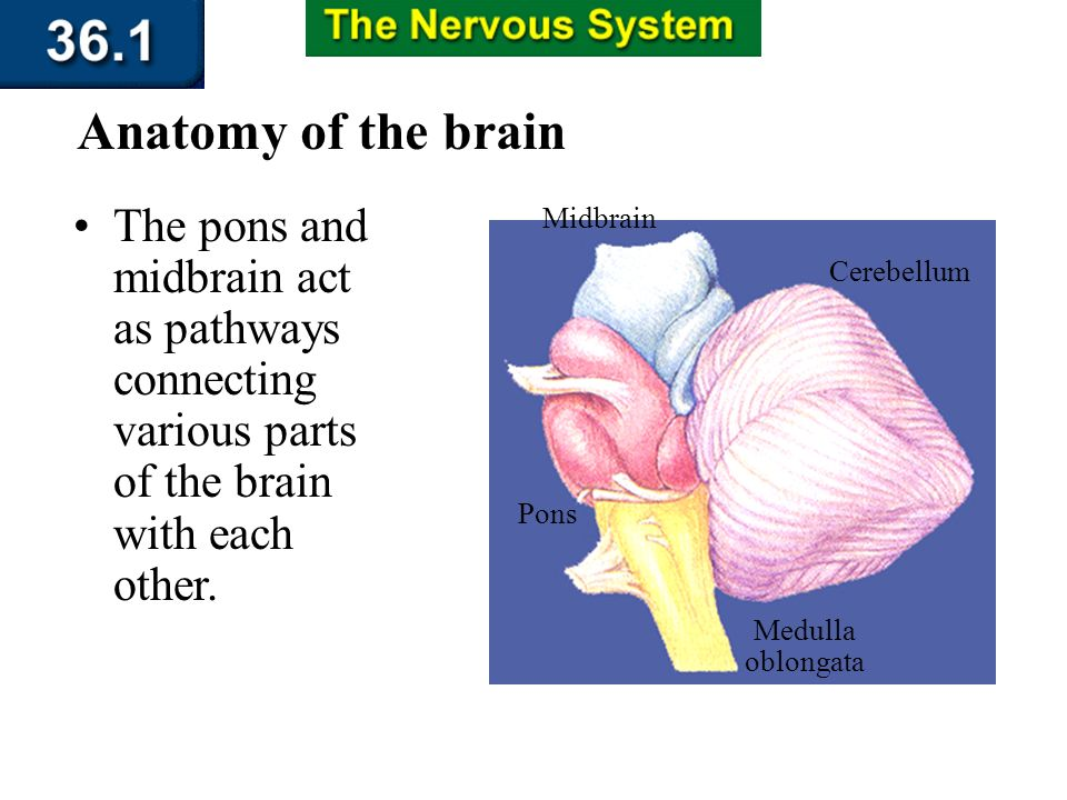 Section 36.1 Summary – pages 943 - 950 Anatomy of the brain The medulla oblongata is the part of the brain that controls involuntary activities such a