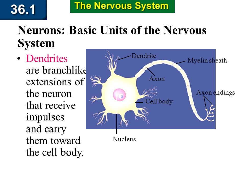 Section 36.1 Summary – pages 943 - 950 A neuron is a long cell that consists of three regions: a cell body, dendrites, and an axon. Neurons: Basic Uni