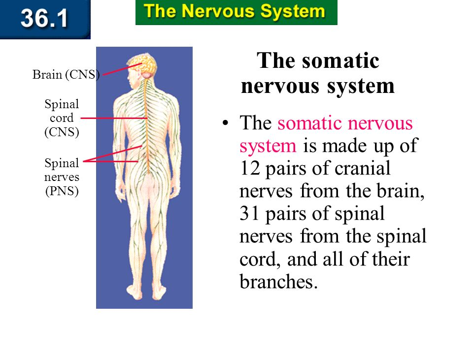 Section 36.1 Summary – pages 943 - 950 The Peripheral Nervous System The peripheral nervous system can be separated into two divisionsthe somatic nerv