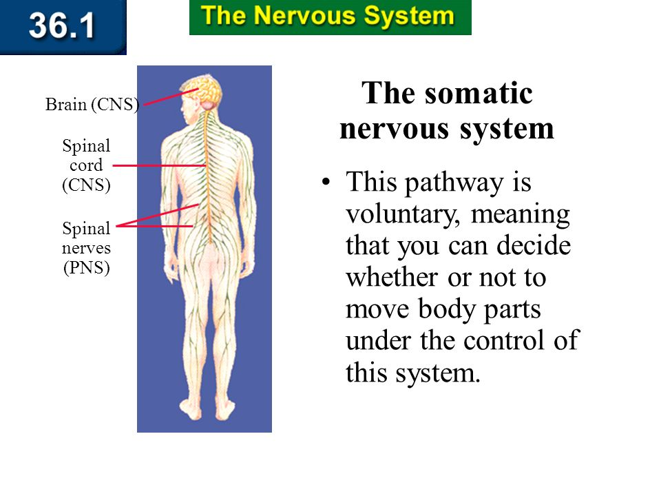 Section 36.1 Summary – pages 943 - 950 The somatic nervous system The nerves of the somatic system relay information mainly between your skin, the CNS