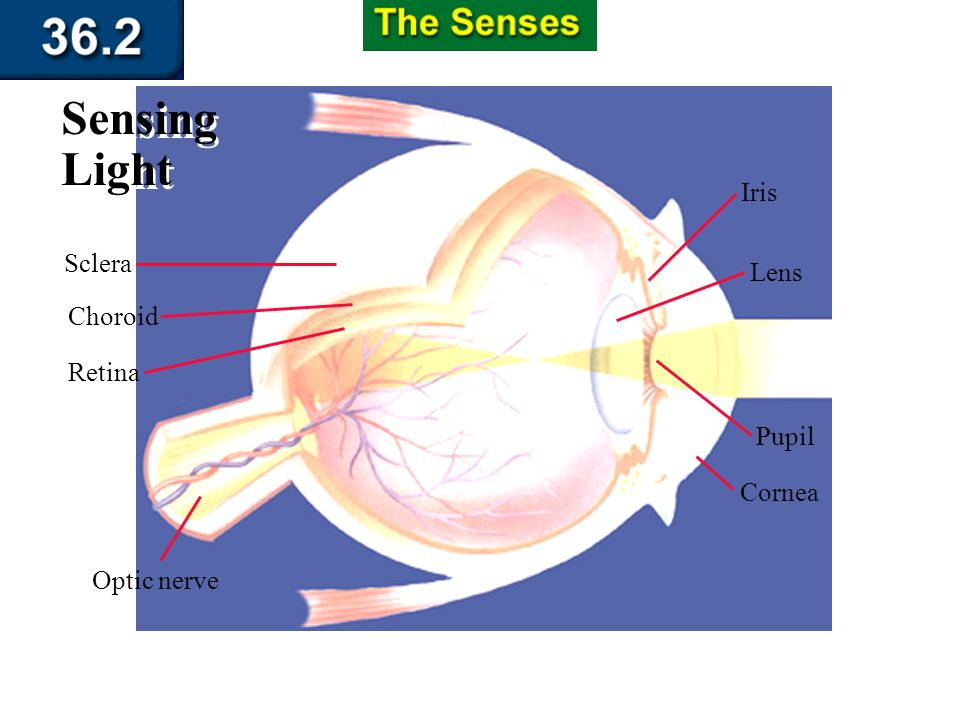 Section 36.2 Summary – pages 951 - 955 Sensing Chemicals As these cells are depolarized, signals from your taste buds are sent to the cerebrum. There,