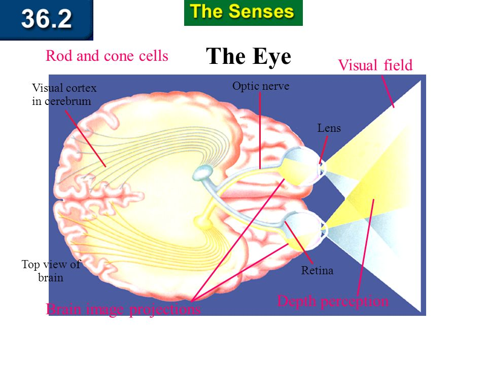 Section 36.2 Summary – pages 951 - 955 Sensing Light At the back of the eye, retinal tissue comes together to form the optic nerve, which leads to the