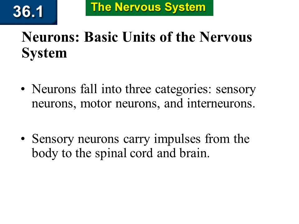 The axon is an extension of the neuron that carries impulses away from the cell body and toward other neurons, muscles, or glands. Section 36.1 Summar