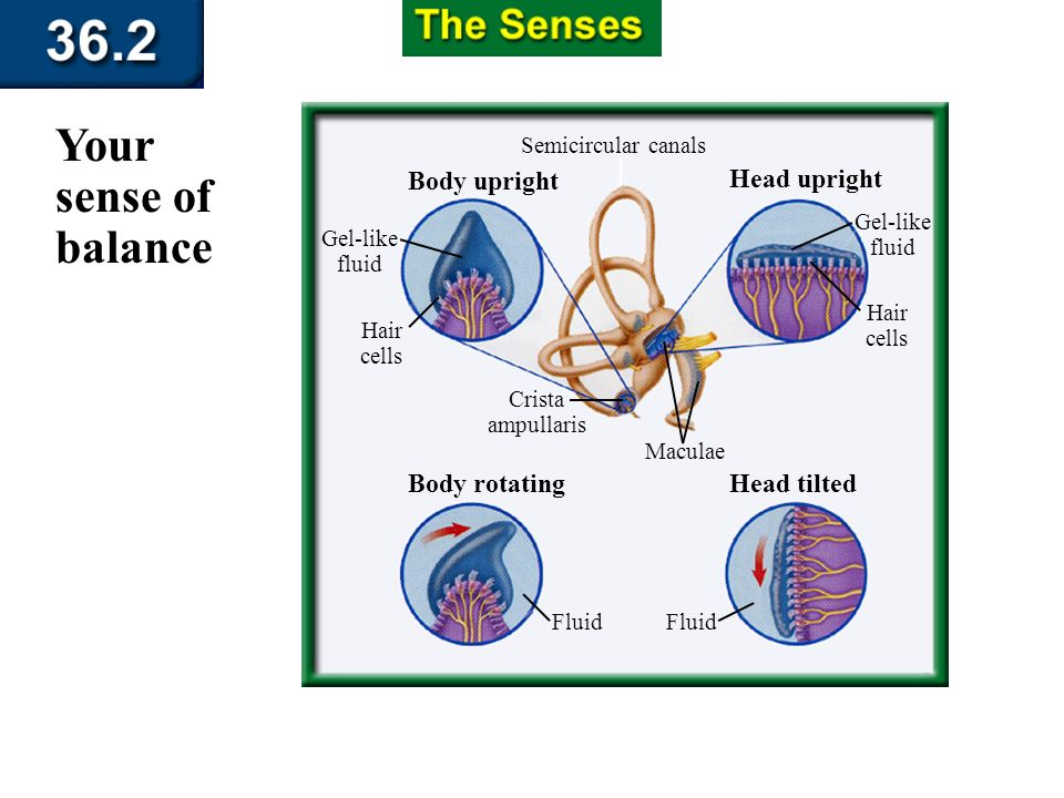 Section 36.2 Summary – pages 951 - 955 Your sense of balance The inner ear converts information about the position of your head into nerve impulses wh