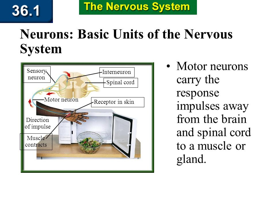 Section 36.1 Summary – pages 943 - 950 Interneurons are found within the brain and spinal cord. Neurons: Basic Units of the Nervous System Interneuron