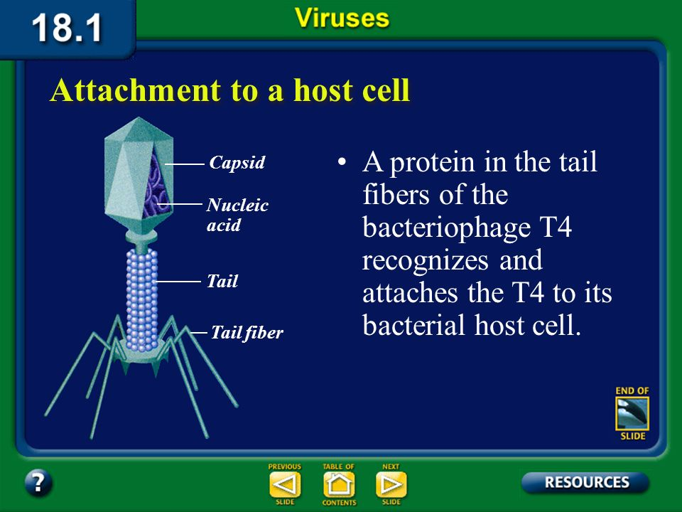 Section 18.1 Summary – pages 475-483 Attachment to a host cell Before a virus can replicate, it must enter a host cell. A virus recognizes and attache