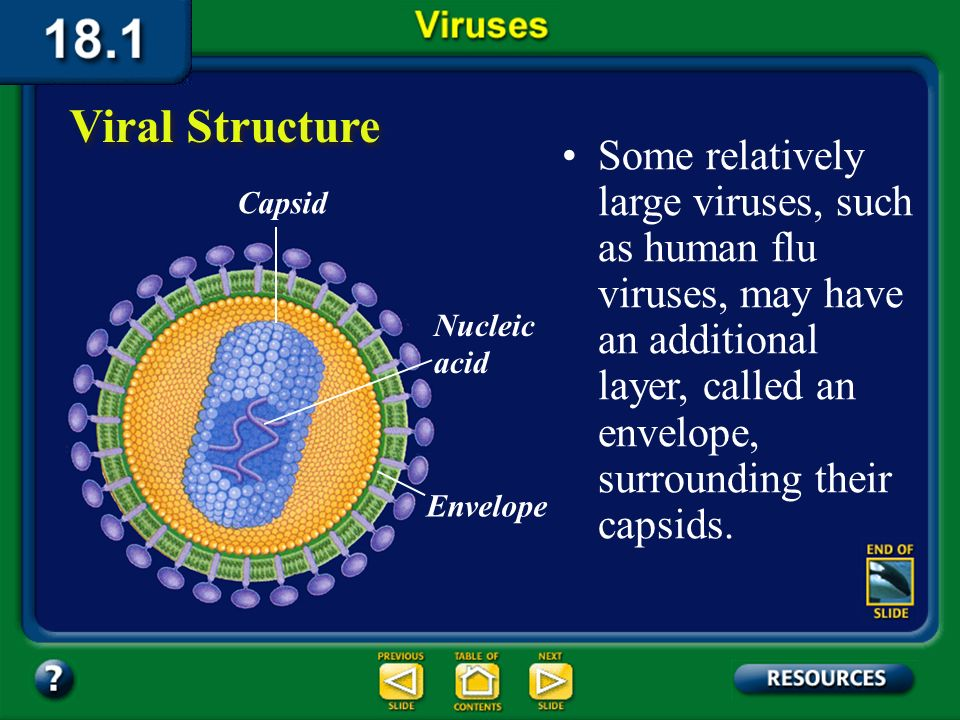 Section 18.1 Summary – pages 475-483 Viral Structure A virus has an inner core of nucleic acid, either RNA or DNA, and an outer protein coat called a