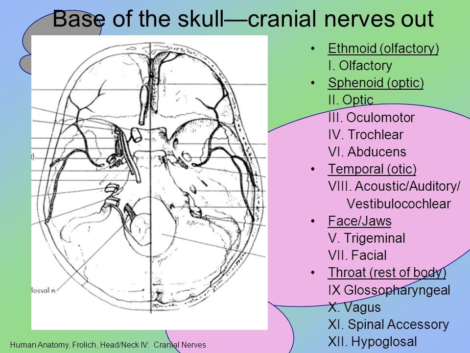 Human Anatomy, Frolich, Head/Neck IV: Cranial Nerves Base of the skullcranial nerves out Ethmoid (olfactory) I. Olfactory Sphenoid (optic) II. Optic I