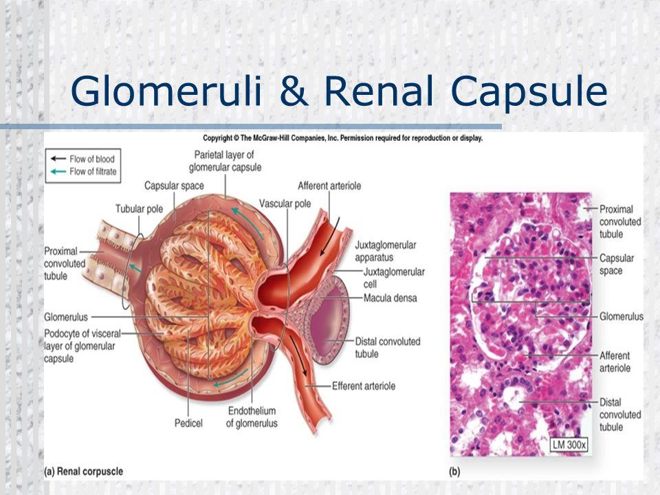 Glomeruli & Renal Capsule