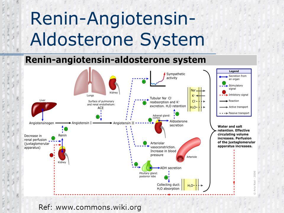 Renin-Angiotensin- Aldosterone System Ref: www.commons.wiki.org