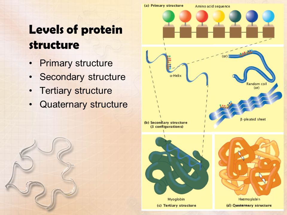Levels of protein structure Primary structure Secondary structure Tertiary structure Quaternary structure