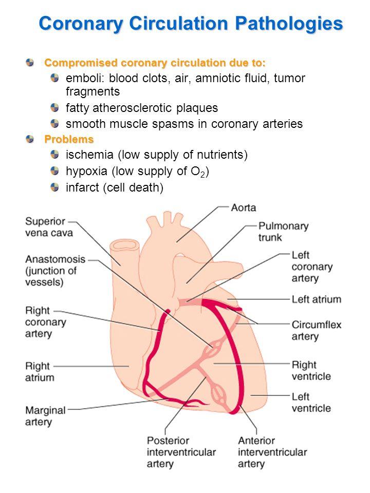 11 Coronary Circulation Pathologies Compromised coronary circulation due to: emboli: blood clots, air, amniotic fluid, tumor fragments fatty atheroscl
