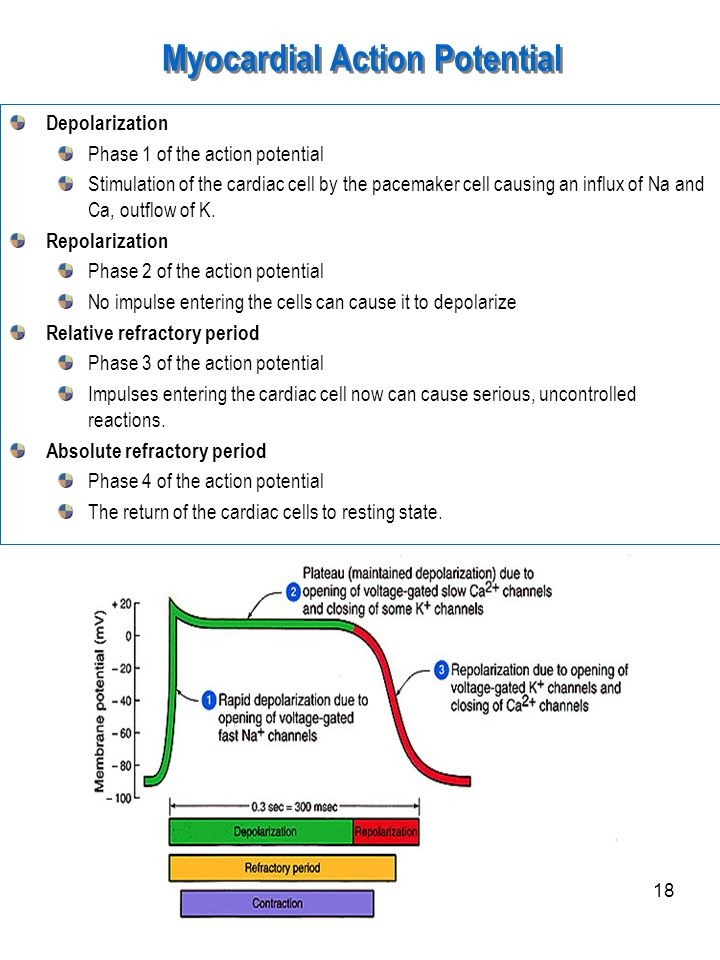18 Myocardial Action Potential Depolarization Phase 1 of the action potential Stimulation of the cardiac cell by the pacemaker cell causing an influx