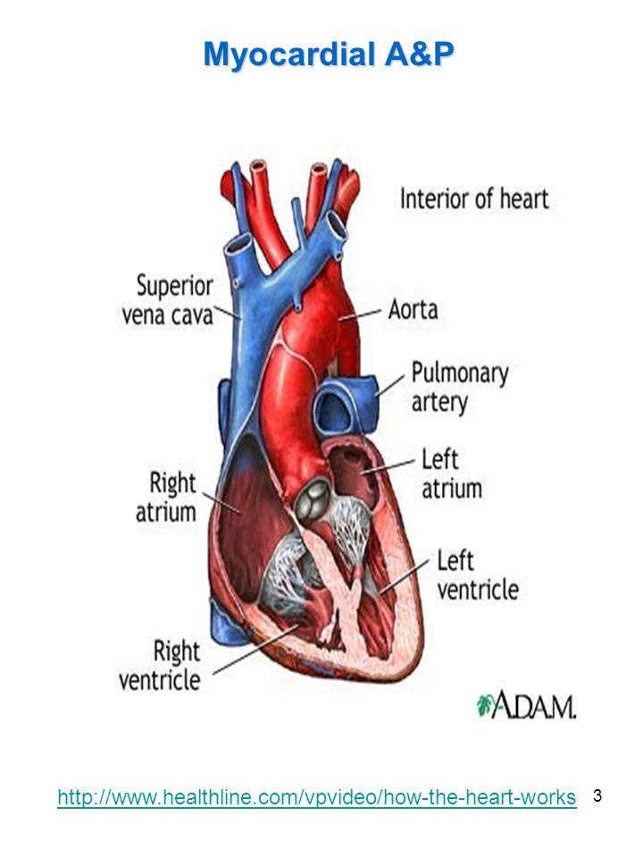 3 Myocardial A&P http://www.healthline.com/vpvideo/how-the-heart-works
