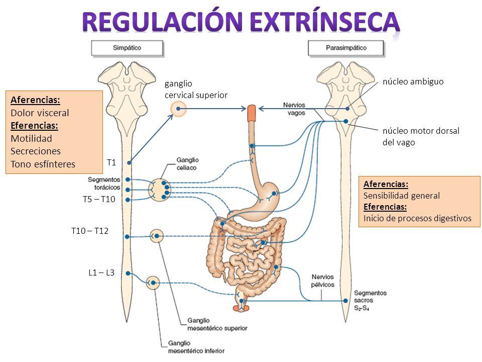 T5 – T10 T1 L1 – L3 T10 – T12 ganglio cervical superior núcleo ambiguo núcleo motor dorsal del vago Aferencias: Sensibilidad general Eferencias: Inici