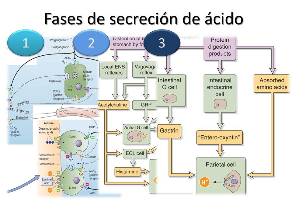 Fases de secreción de ácido 1 1 2 2 3 3