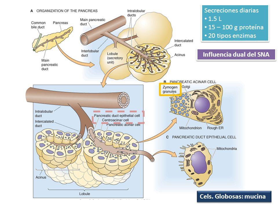 Influencia dual del SNA Cels. Globosas: mucina Secreciones diarias 1.5 L 15 – 100 g proteína 20 tipos enzimas Secreciones diarias 1.5 L 15 – 100 g pro