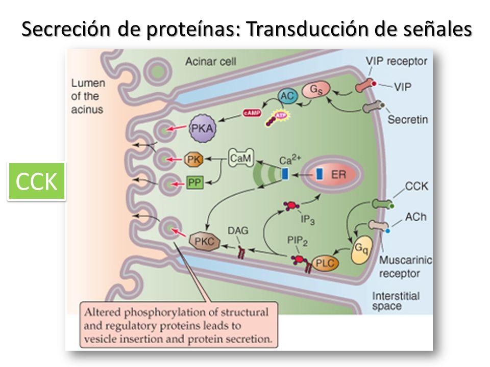 Secreción de proteínas: Transducción de señales CCK