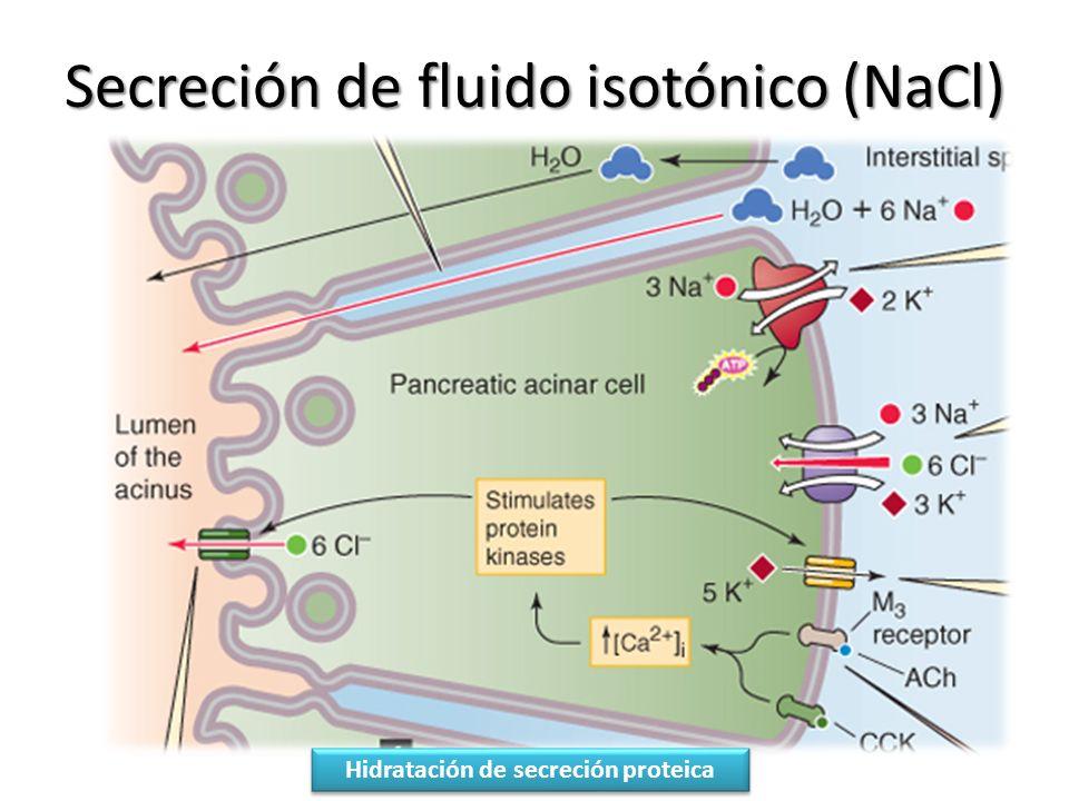 Secreción de fluido isotónico (NaCl) Hidratación de secreción proteica