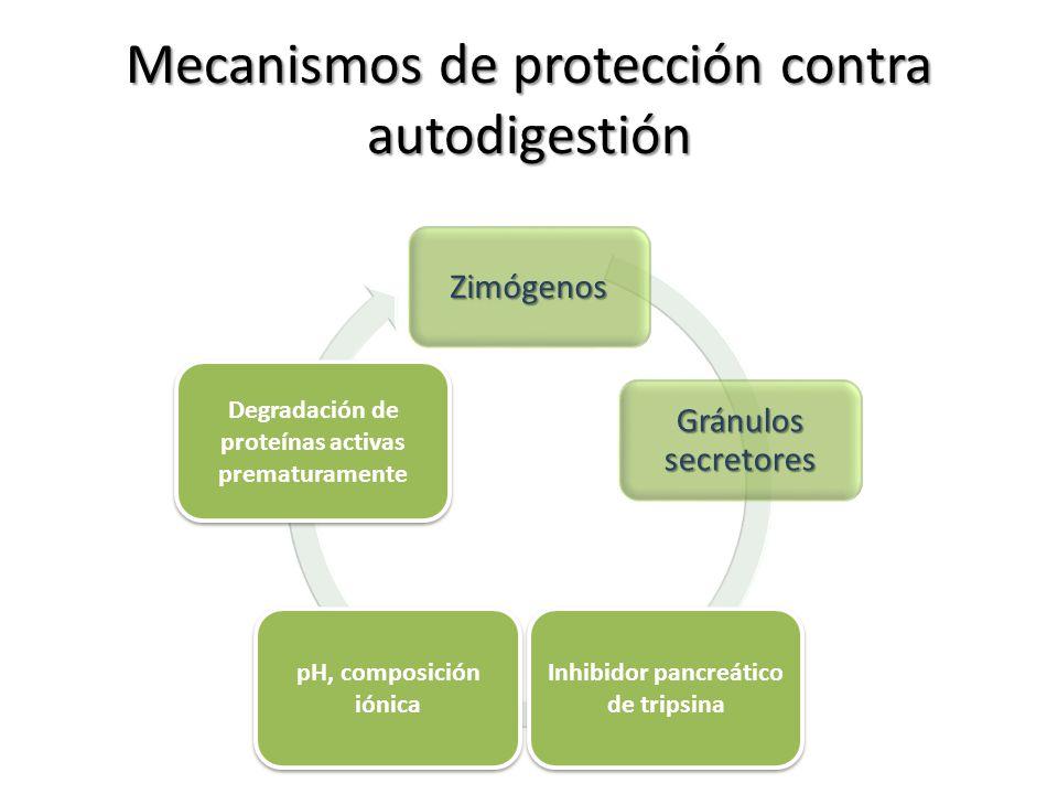 Mecanismos de protección contra autodigestión Zimógenos Gránulos secretores Inhibidores de proteasas Condiciones intraducatales Proteasas no digestiva
