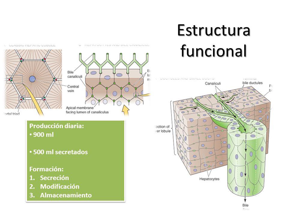 Estructura funcional Producción diaria: 900 ml 500 ml secretados Formación: 1.Secreción 2.Modificación 3.Almacenamiento Producción diaria: 900 ml 500
