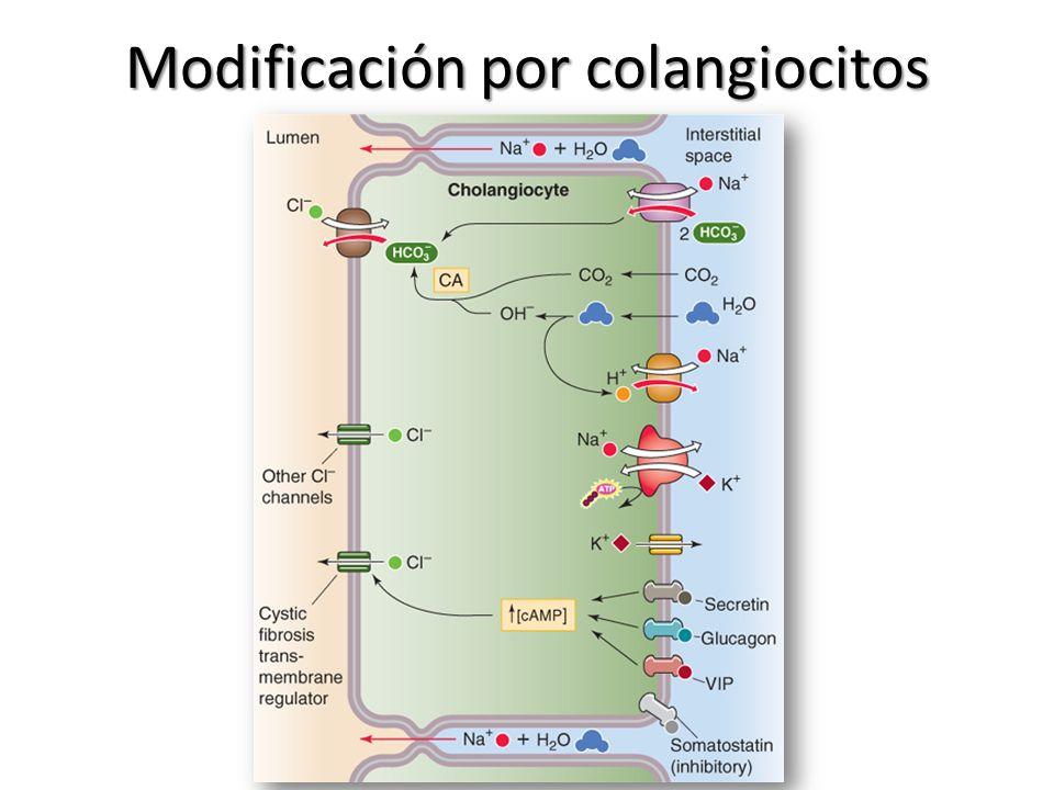 Modificación por colangiocitos