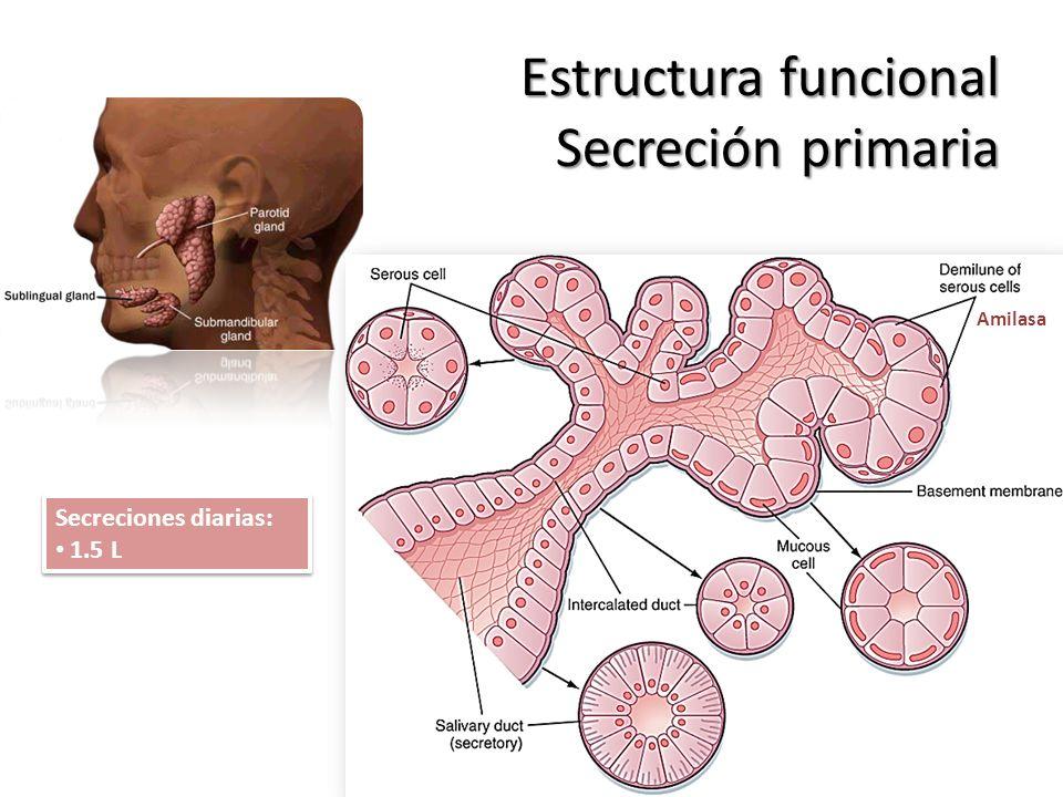 Estructura funcional Secreción primaria Amilasa Secreciones diarias: 1.5 L Secreciones diarias: 1.5 L