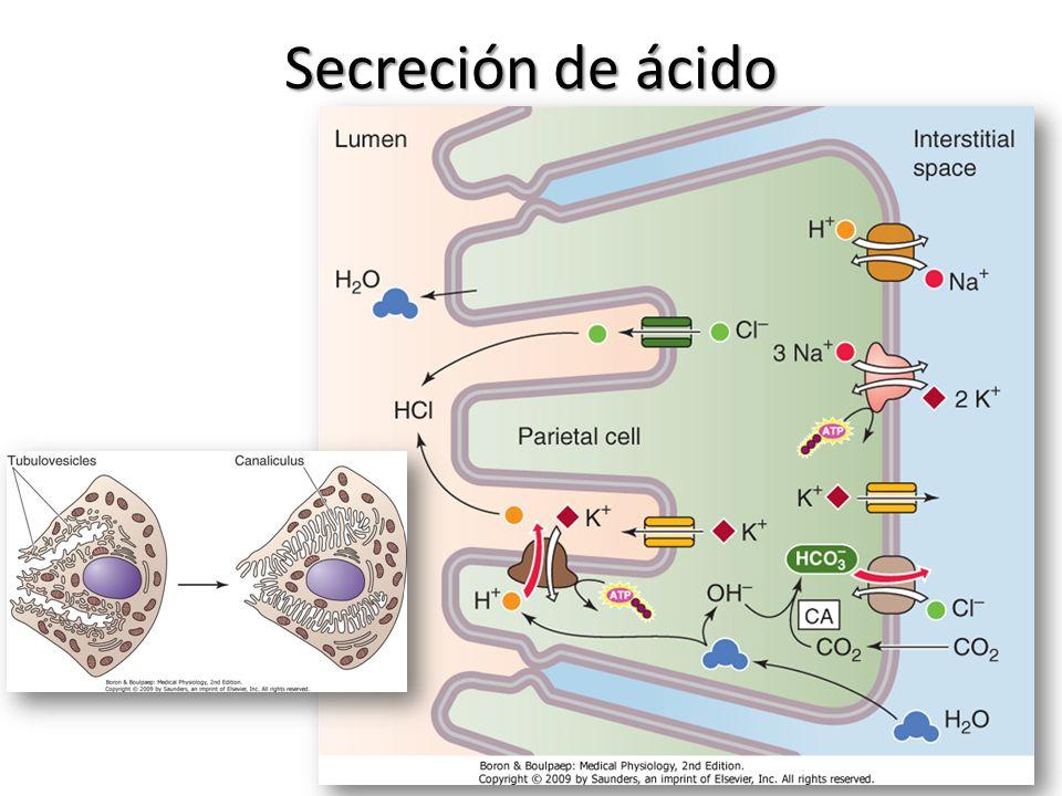 Secreción de ácido