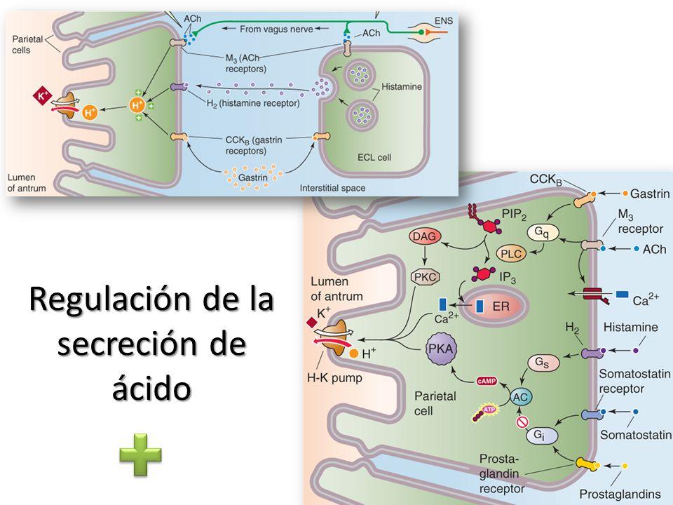 Regulación de la secreción de ácido
