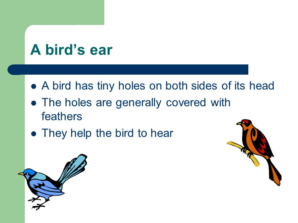 A birds ear A bird has tiny holes on both sides of its head The holes are generally covered with feathers They help the bird to hear