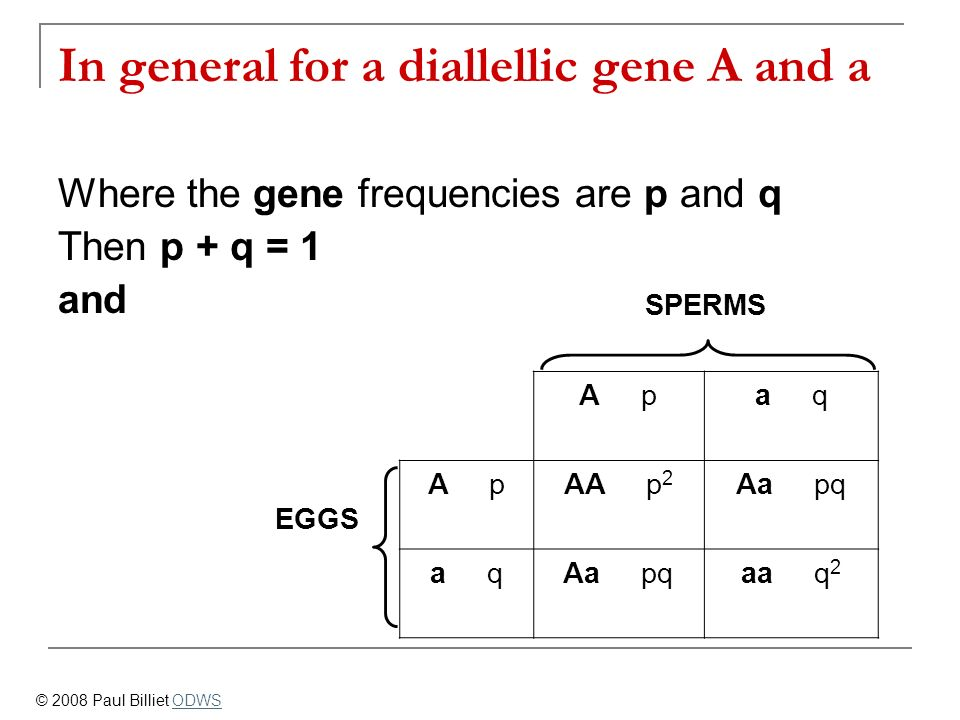 SPERMS A pa q EGGS A pAA p 2 Aa pq a qAa pqaa q 2 In general for a diallellic gene A and a Where the gene frequencies are p and q Then p + q = 1 and ©
