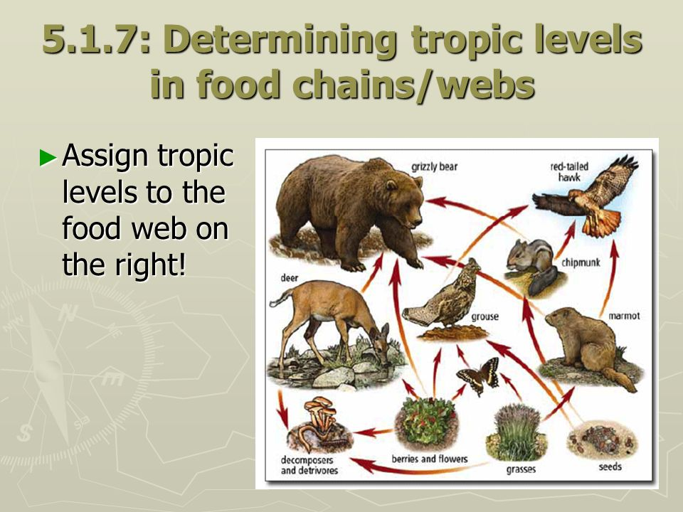 5.1.7: Determining tropic levels in food chains/webs Assign tropic levels to the food web on the right! Assign tropic levels to the food web on the ri