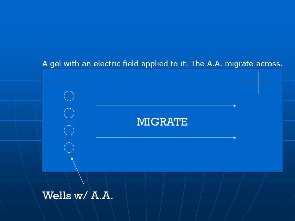 MIGRATE Wells w/ A.A. A gel with an electric field applied to it. The A.A. migrate across.