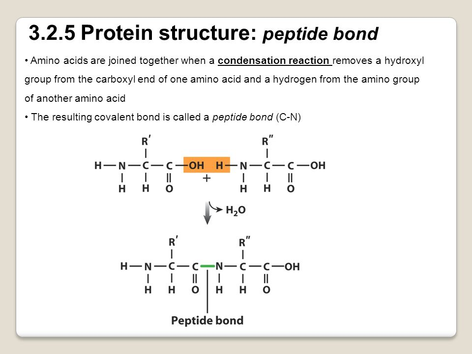 Amino acids are joined together when a condensation reaction removes a hydroxyl group from the carboxyl end of one amino acid and a hydrogen from the