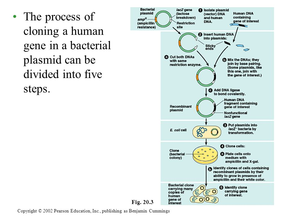 The process of cloning a human gene in a bacterial plasmid can be divided into five steps. Copyright © 2002 Pearson Education, Inc., publishing as Ben