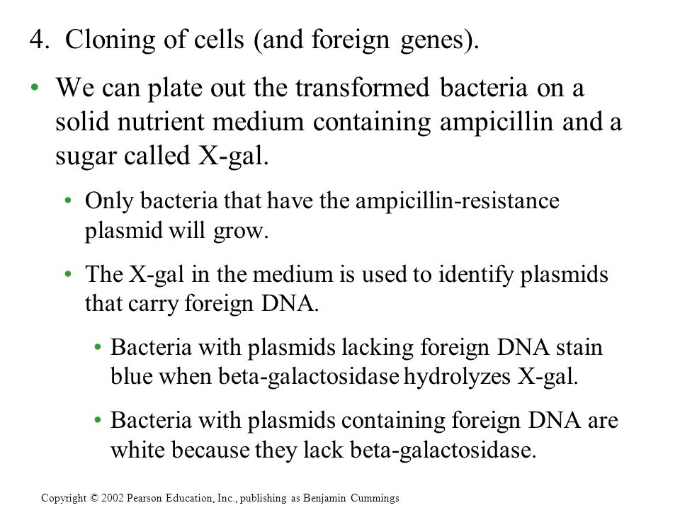 4. Cloning of cells (and foreign genes). We can plate out the transformed bacteria on a solid nutrient medium containing ampicillin and a sugar called