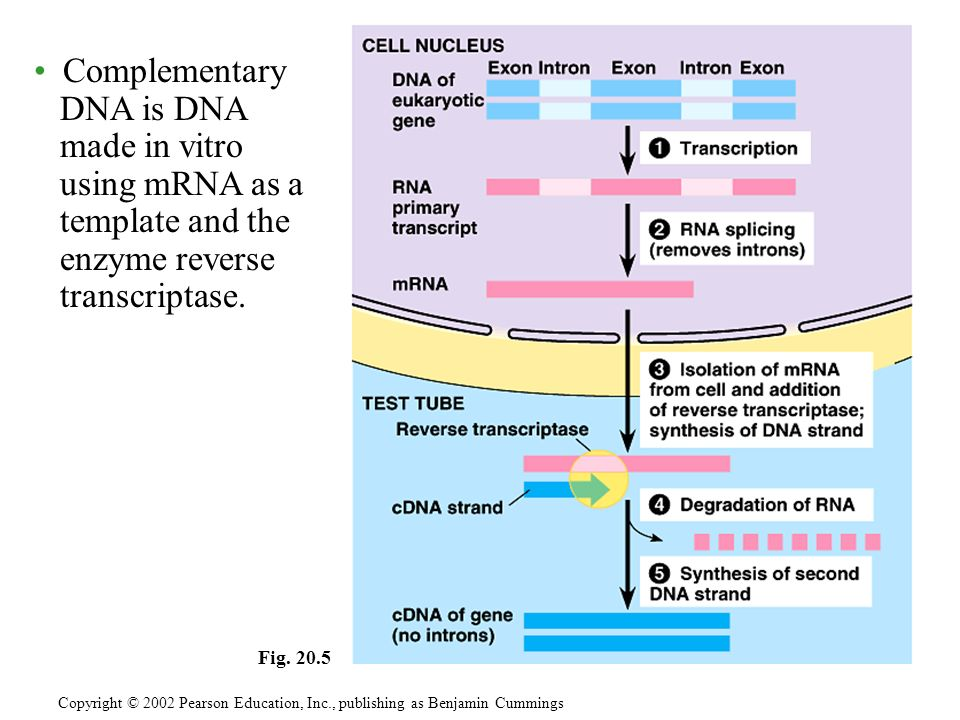 Fig. 20.5 Complementary DNA is DNA made in vitro using mRNA as a template and the enzyme reverse transcriptase.