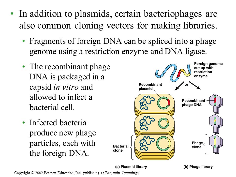 In addition to plasmids, certain bacteriophages are also common cloning vectors for making libraries. Fragments of foreign DNA can be spliced into a p