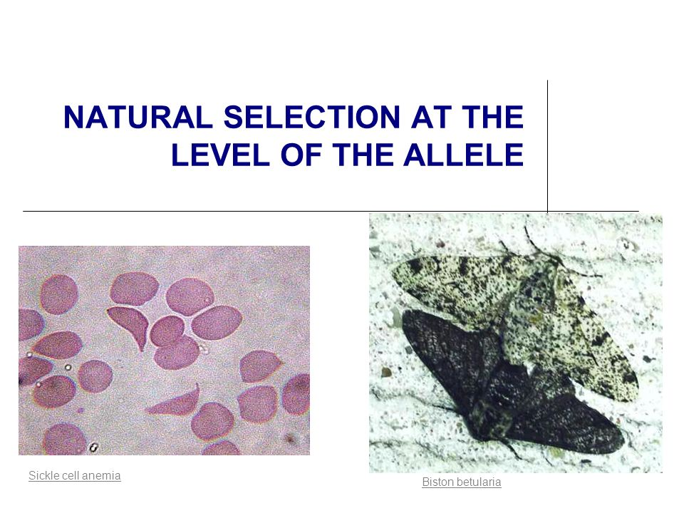 NATURAL SELECTION AT THE LEVEL OF THE ALLELE Biston betularia Sickle cell anemia