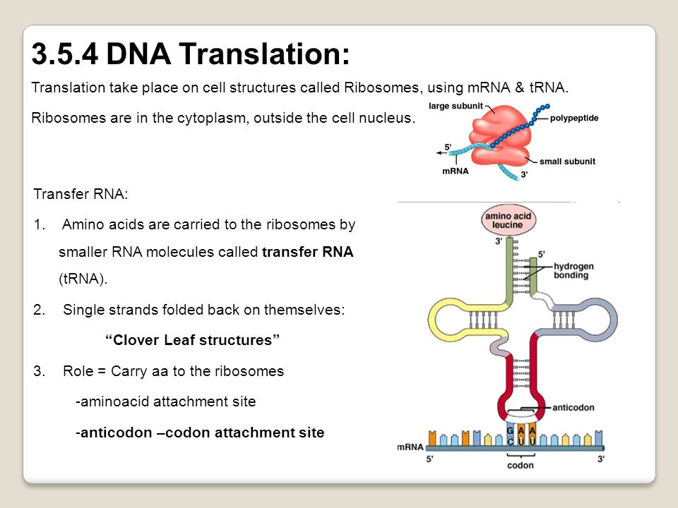 Translation take place on cell structures called Ribosomes, using mRNA & tRNA. Ribosomes are in the cytoplasm, outside the cell nucleus. 3.5.4 DNA Tra