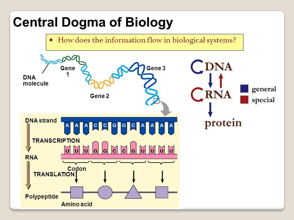 DNA molecule Gene 1 Gene 2 Gene 3 DNA strand TRANSCRIPTION RNA Polypeptide TRANSLATION Codon Amino acid Central Dogma of Biology How does the informat