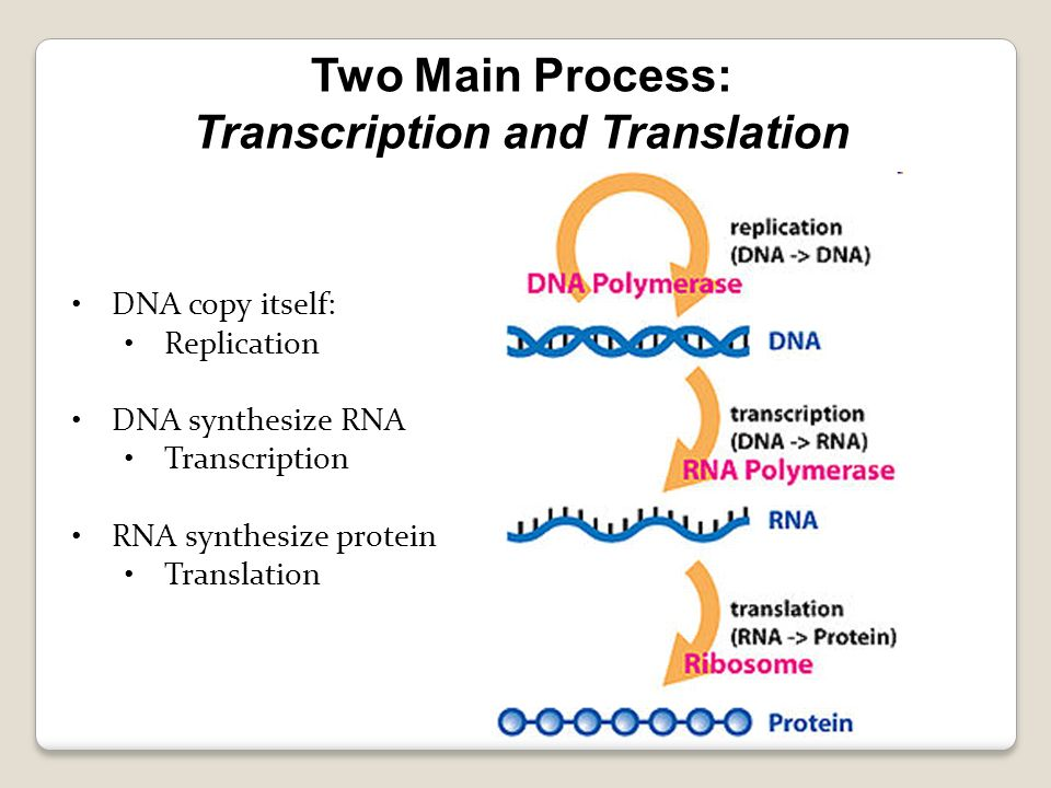 DNA copy itself: Replication DNA synthesize RNA Transcription RNA synthesize protein Translation Two Main Process: Transcription and Translation