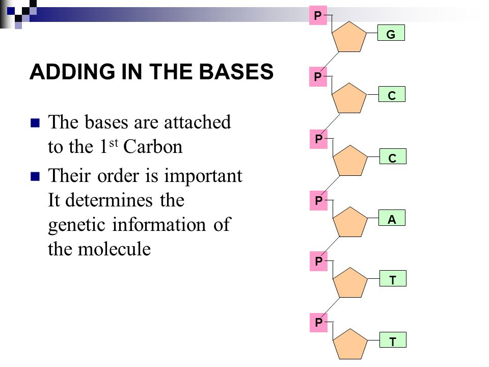 ADDING IN THE BASES The bases are attached to the 1 st Carbon Their order is important It determines the genetic information of the molecule P P P P P P G C C A T T
