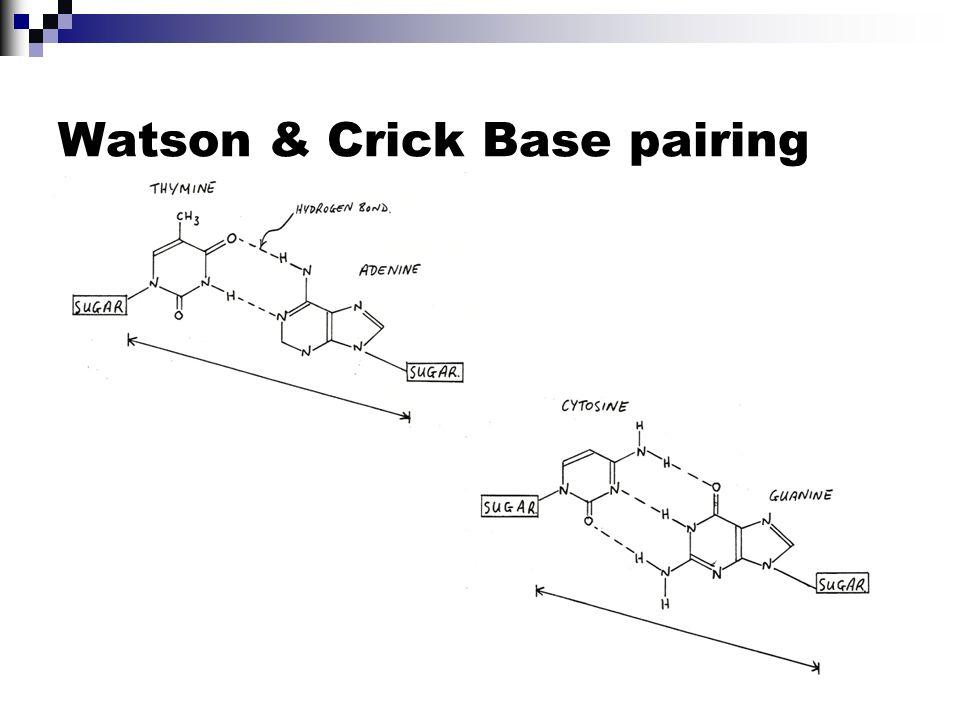 Watson & Crick Base pairing
