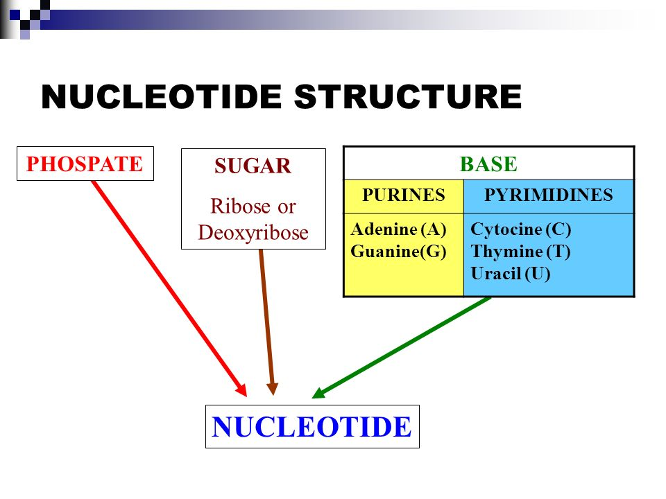 NUCLEOTIDE STRUCTURE PHOSPATESUGAR Ribose or Deoxyribose NUCLEOTIDE BASE PURINESPYRIMIDINES Adenine (A) Guanine(G) Cytocine (C) Thymine (T) Uracil (U)