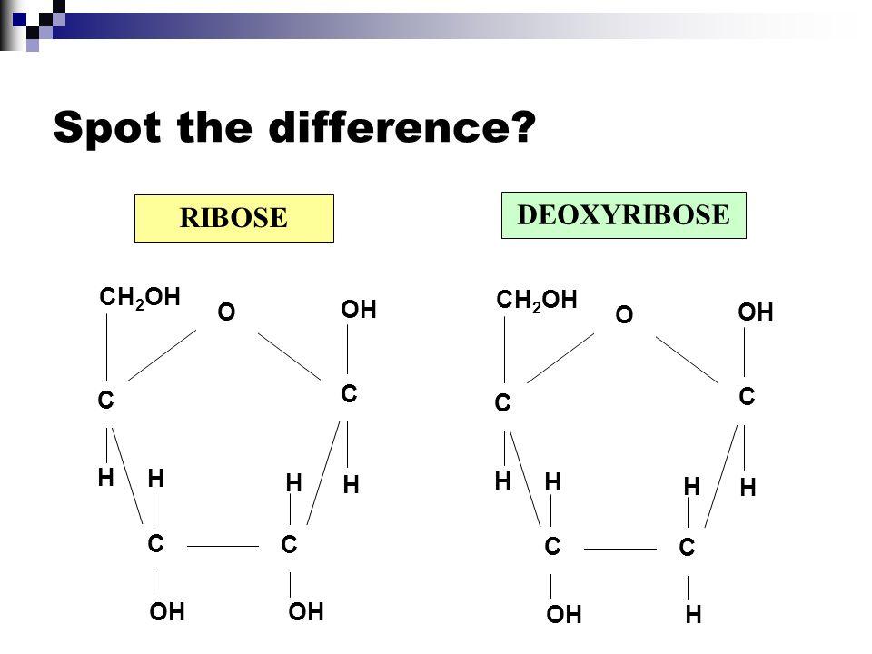 RIBOSE DEOXYRIBOSE CH 2 OH H OH C C C O H H H C CH 2 OH H OH C C H C O H H H C Spot the difference?
