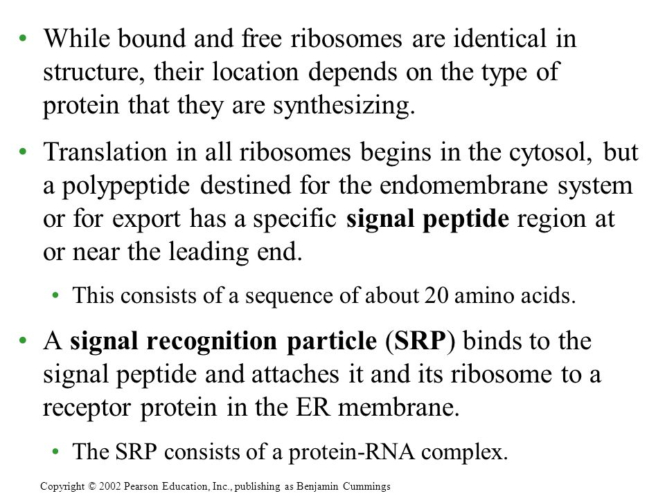 While bound and free ribosomes are identical in structure, their location depends on the type of protein that they are synthesizing. Translation in al
